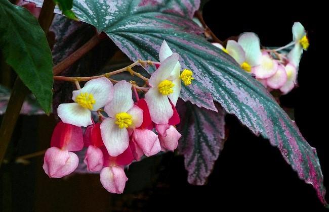 竹节海棠为什么不开花