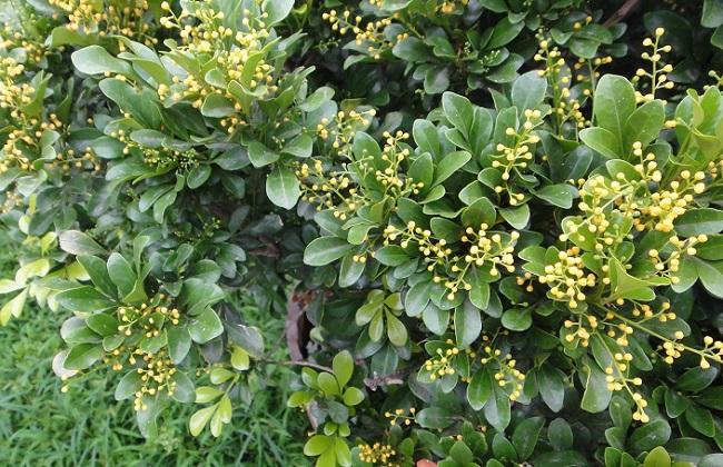 米兰叶子上长白斑凸起怎么办_米兰叶子有黄斑图片