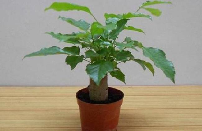 绿宝树的养殖方法和注意事项掉叶图片