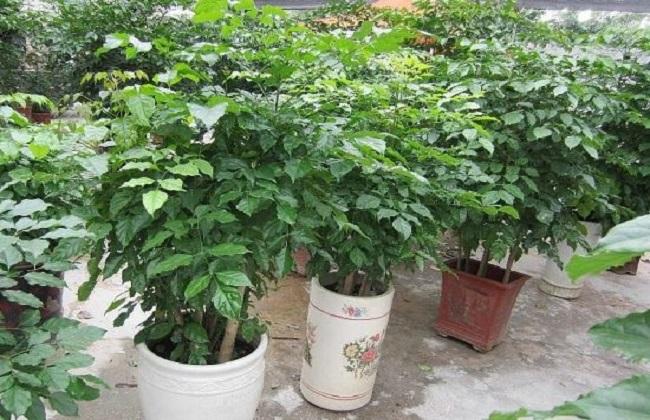 绿宝树的养殖方法和注意事项视频图片