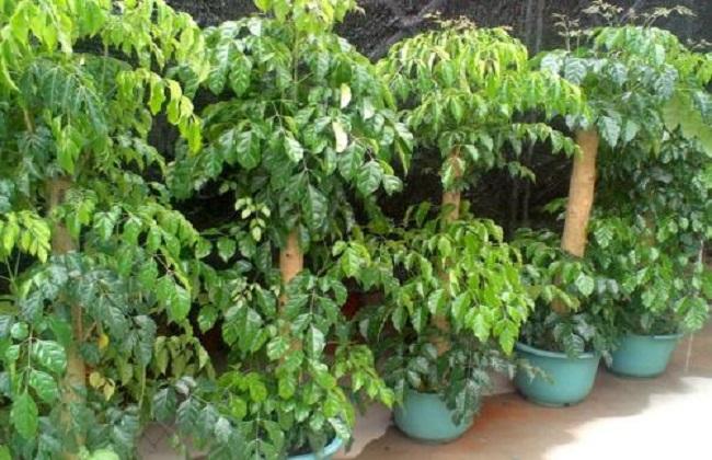 绿宝树的修剪方法图图片