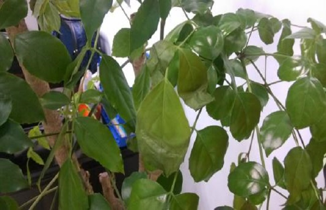 绿宝树掉叶子图片