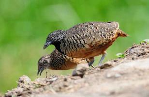 鹌鹑怎么孵化 鹌鹑孵化方法介绍