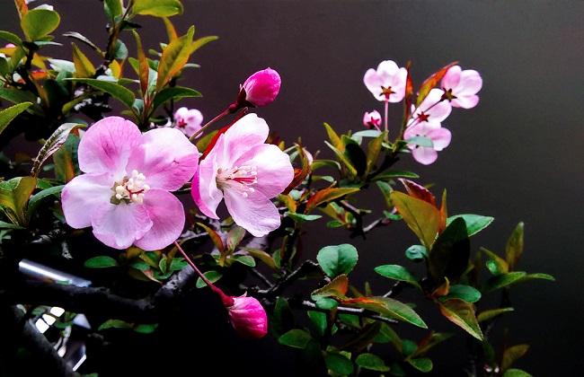 海棠花叶子干枯图片