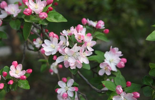 海棠花叶子焦边花干了图片