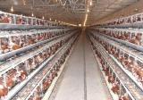 蛋鸡生理习性的变化规律