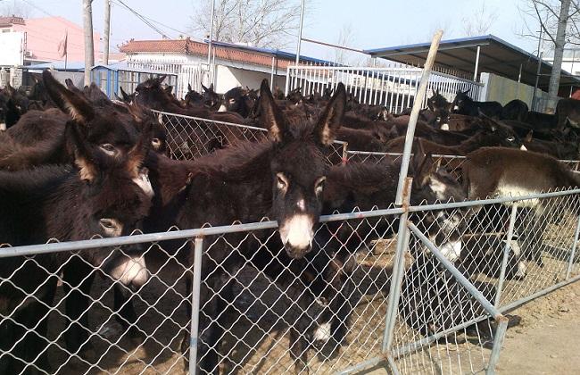 肉驴饲养技术