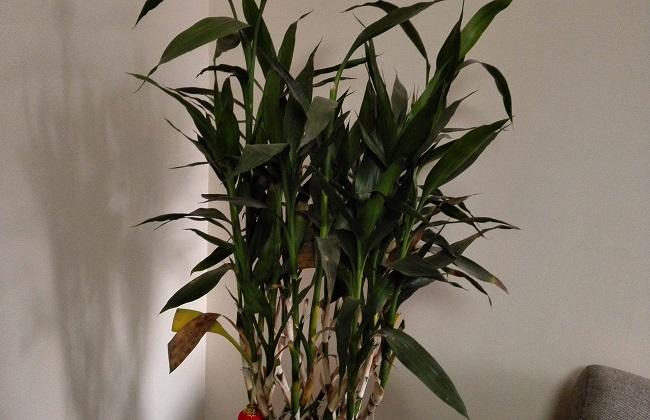 富贵竹叶子冬天蔫了图片