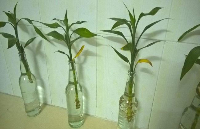 富贵竹插水里叶子蔫了图片