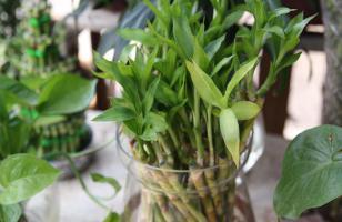 水培富贵竹的养殖方法