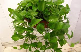 水培绿萝怎样快速生根