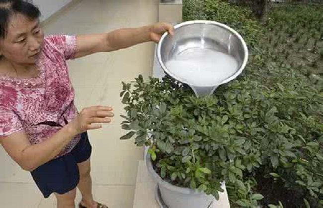 淘米水浇花的正确方式