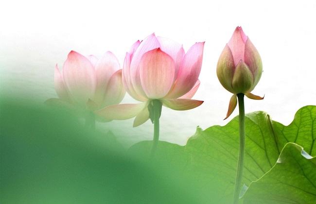 莲花的功效与作用