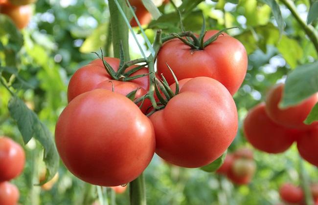 番茄的功效与作用