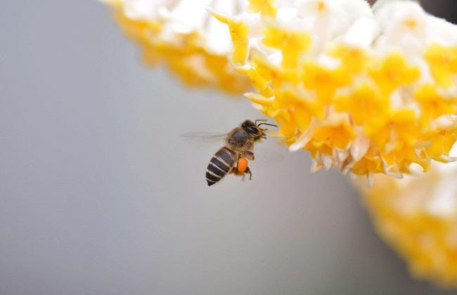 蜜蜂种类及图片大全