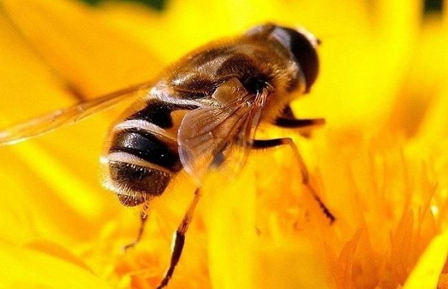 沙巴蜂大蜜蜂