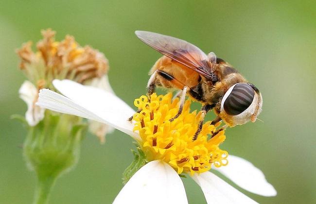 苏拉威西蜂