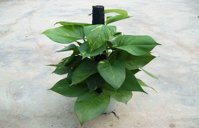 室内养殖绿萝的作用及好处