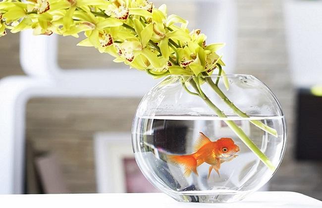 水培绿萝养鱼
