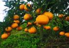 柑橘裂皮病如何防治