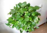 吊兰和绿萝哪个吸甲醛强?