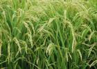 水稻种植的常见病害及防治方法