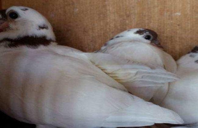如何提高幼鸽的存活率