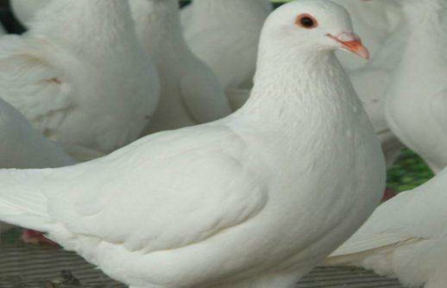 大棚养殖鸽子应该注意哪些