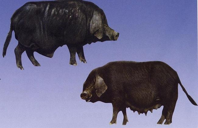 国内肉猪的常见品种及图片大全
