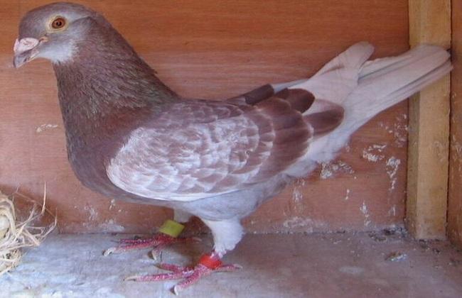 肉鸽的品种及图片一览