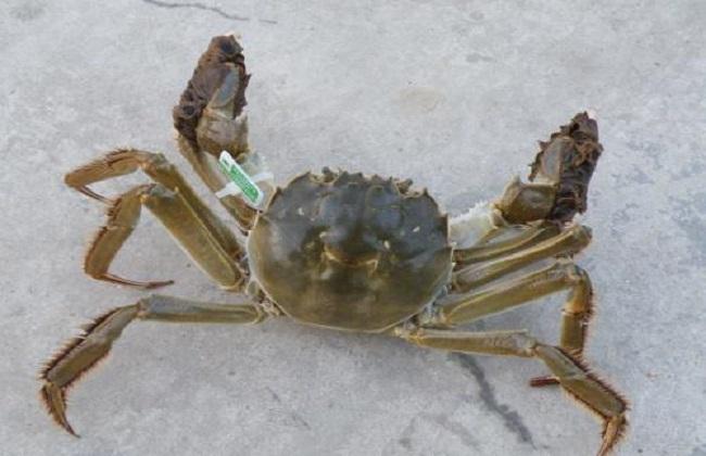 螃蟹的常见种类及图片大全