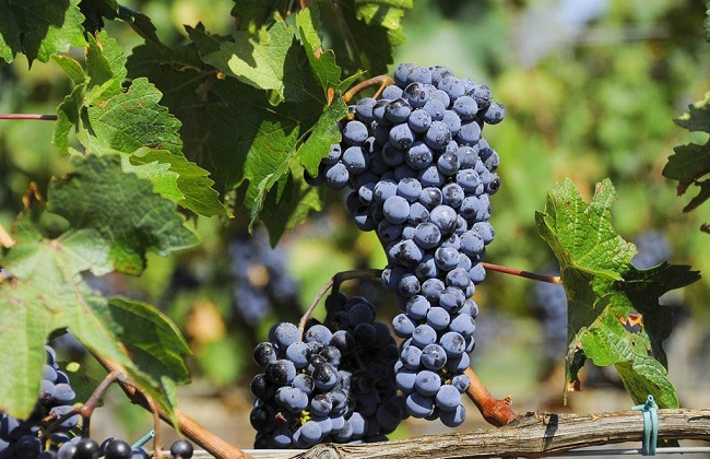 葡萄的品种及图片大全