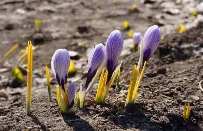 藏红花养殖方法