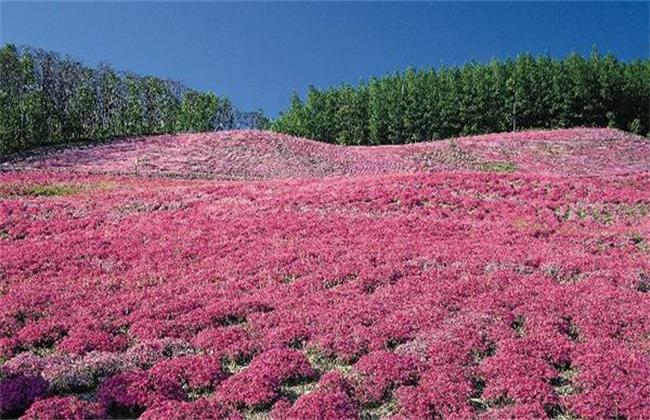 藏红花常见虫害及防治方法