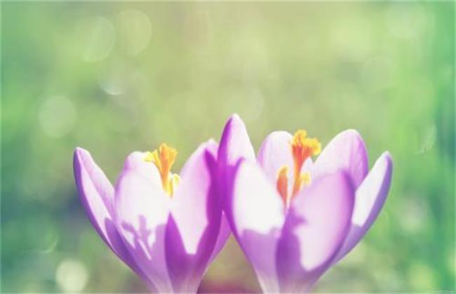藏红花种类及图片大全