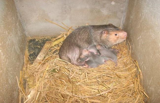 竹鼠的常见品种及图片一览