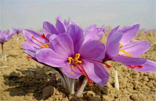 藏红花简介及产地分布