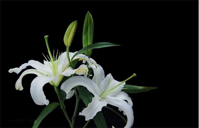 香水百合养殖方法