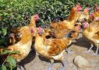 2018农村养鸡政策补贴