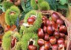 板栗品种及图片大全