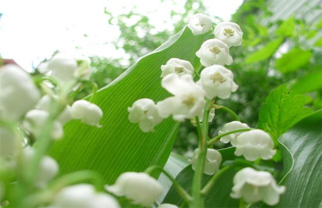 铃兰品种及图片大全
