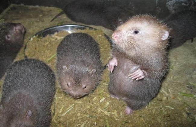竹鼠肠胃炎及常见疾病的防治