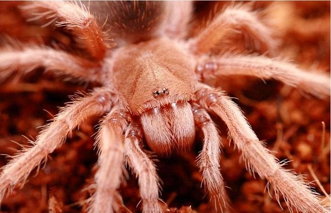 宠物蜘蛛品种及图片欣赏