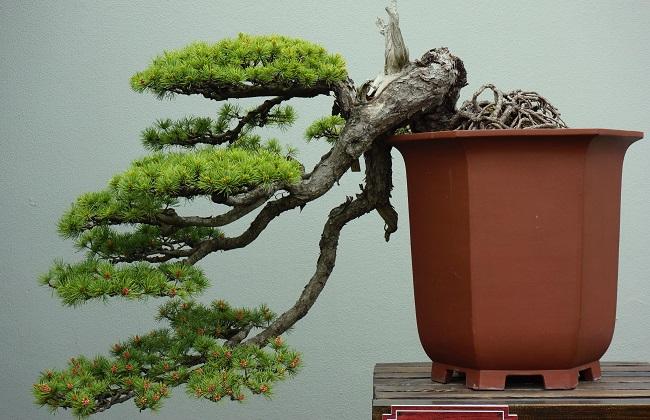 雀梅盆景的日常养护技巧