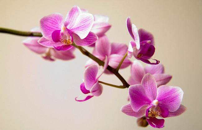 蝴蝶兰花期虫害图片