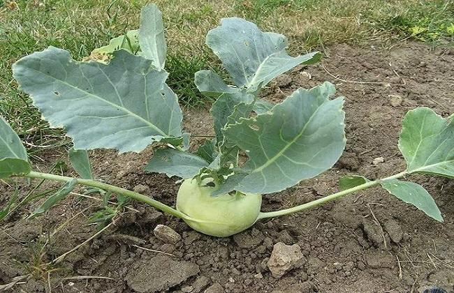 蔬菜苤蓝的简介及图片欣赏