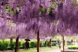 紫藤萝的简介及唯美图片欣赏