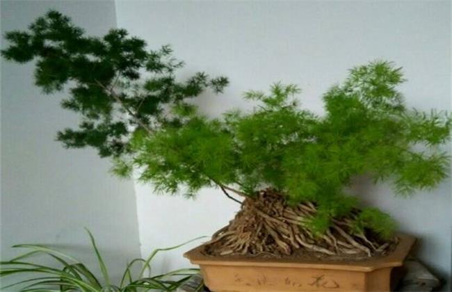 蓬莱松盆栽怎么养殖图片