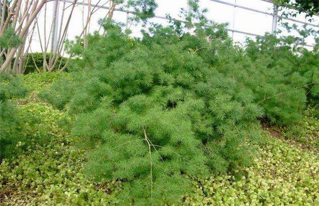 蓬莱松盆栽图片