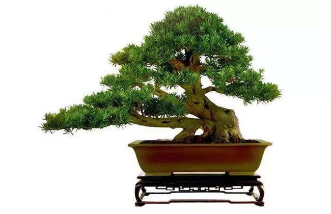 蓬莱松盆栽适合放在室内吗图片